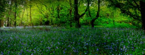 Photo of a bluebell wood