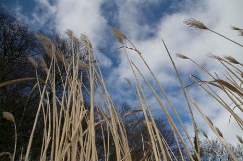 A photo of tall elephant grass in a field