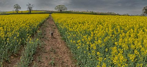 Photo of a track running through the middle of a field of rapeseed
