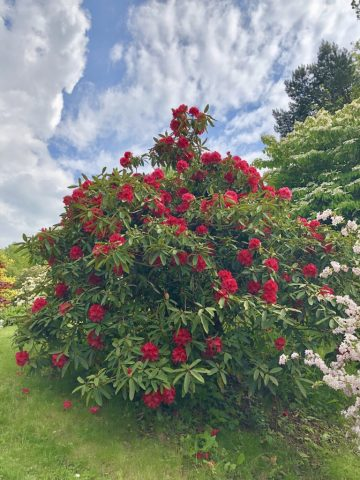 Photo of a large shrub with bright red flowers